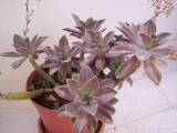 Graptoveria Fred İves